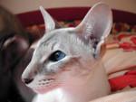 jméno kočky:  Ch Angelina Anna Maria Christopher  jméno majitele: ID APRILMOUSE přezdívka: Elda, Pupu, Pupuška rok narození: 2001 trvalé bydliště: Jaroměř další fotky: ?