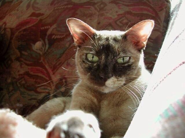 jméno kočky: Ch April Mouse Kant Ewin  jméno majitele: ID APRILMOUSE přezdívka: Mic, Plyš, Puplyš, Myšíšek rok narození: 1999 trvalé bydliště: Jaroměř další fotky: ?