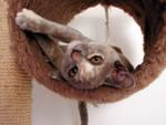 jméno kočky: Crostina Petite Patte  jméno majitele: ID APRILMOUSE přezdívka: Mimi rok narození: 2005 trvalé bydliště: Jaroměř další fotky: ?