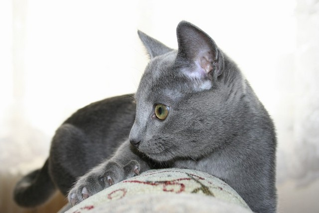 jméno kočky: Frankie Blue Felis  jméno majitele: ID PETT + BAGRIX přezdívka:  rok narození: 2005 trvalé bydliště: Brno další fotky: ?