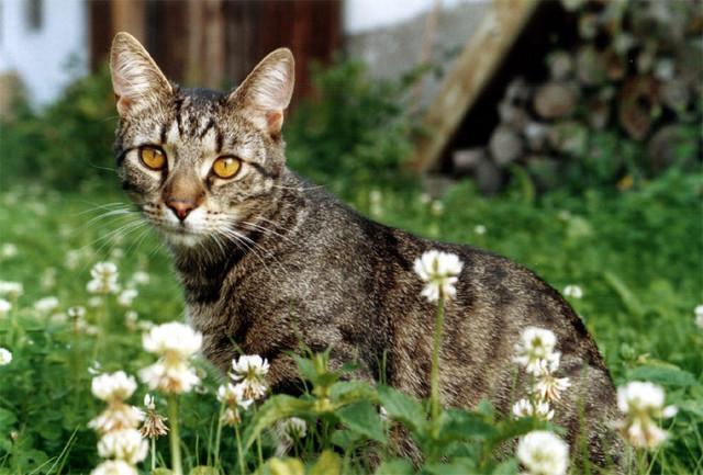 jméno kočky: Cvrček  jméno majitele: ID MORGANA přezdívka: ? rok narození: 2005 trvalé bydliště: Praha  další fotky: klik