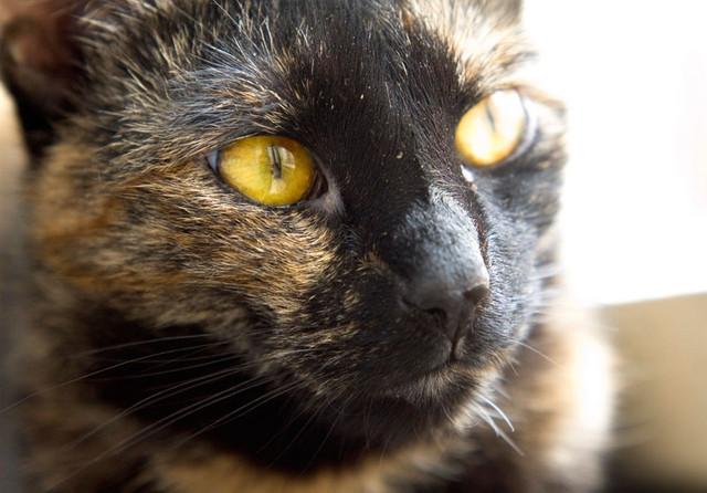 jméno kočky: Ariadne  jméno majitele: ID DIXIE přezdívka: Ari, Arišta rok narození: 2003 trvalé bydliště: Praha - Libeň další fotky:?