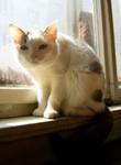 jméno kočky: Miu  jméno majitele: ID DIXIE přezdívka: Miuka ci Miukataka kočičí rok narození: 2004 trvalé bydliště: Praha - Libeň