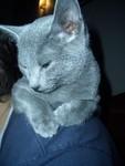 jméno kočky: Funny Blue Felis  jméno majitele: ID MAJUCHA přezdívka: Fanouš rok narození: 2005 trvalé bydliště: Praha 3 další fotky: klik