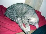 jméno kočky: Ruf  jméno majitele: ID LANTHAL přezdívka: Čupíto, Fuf rok narození: 1999 trvalé bydliště: Praha