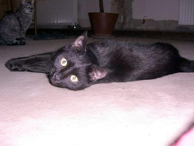 jméno kočky: Sára  jméno majitele: ID LANTHAL přezdívka: Kukáto, Psycho rok narození: 2006 trvalé bydliště: Praha