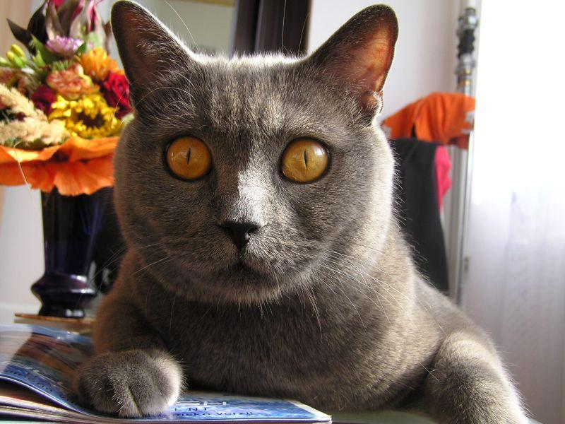 jméno kočky: Orion Blue Sengri  jméno majitele: ID MARKYTKAK přezdívka: Orin, Orík, Orínek, čupík rok narození: 6.9.2002 trvalé bydliště: Praha