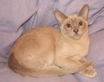 jméno kočky: Zephyr Alamak  jméno majitele: ID CATSIAM přezdívka: Safírek rok narození: 6.10.2004 trvalé bydliště: Velké Přílepy další fotky: klik