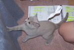 jméno kočky: Alice  jméno majitele: ID STARAKRYSA přezdívka: Alucha rok narození: 2006 trvalé bydliště: Praha
